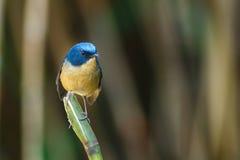 鸟,板岩状蓝色捕蝇器Ficedula三色男性,鸟在泰国,土井太阳朱赫,清迈 免版税库存照片