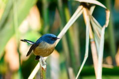 鸟,板岩状蓝色捕蝇器Ficedula三色男性,鸟在泰国,土井太阳朱赫,清迈 免版税库存图片