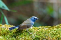 鸟,板岩状蓝色捕蝇器Ficedula三色男性,鸟在泰国,土井太阳朱赫,清迈 图库摄影
