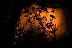 鸟,橙色日落 印地安人Peafoul,鸟在树窗口, Ratnhamore废墟,印度里显示求爱 鸟联接的舞蹈 印地安豌豆 图库摄影