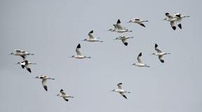 鸟,泰国,迁移鸟染色长嘴上弯的长脚鸟的鸟 免版税库存图片