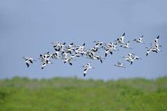 鸟,泰国,迁移鸟染色长嘴上弯的长脚鸟的鸟 免版税图库摄影