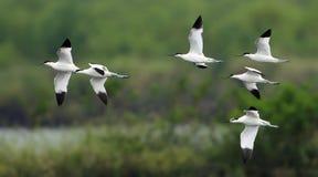 鸟,泰国,迁移鸟染色长嘴上弯的长脚鸟的鸟 库存图片