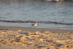 鸟,海岛Tavira葡萄牙 免版税库存图片