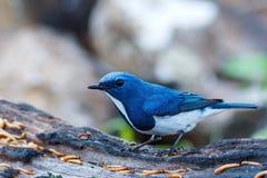 鸟,深蓝色的捕蝇器-土井太阳朱赫,清迈,泰国鸟  免版税图库摄影