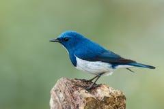 鸟,深蓝色的捕蝇器-土井太阳朱赫,清迈,泰国鸟  库存图片