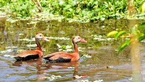 鸟,游泳在沼泽地的两只吹哨的鸭子 免版税库存照片