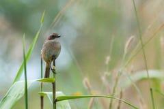 鸟,灰色Bushchat岩苔ferrea女性-土井太阳朱赫,清迈,泰国鸟  库存照片