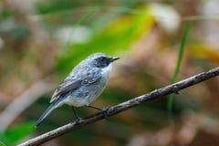 鸟,灰色Bushchat岩苔ferrea女性-土井太阳朱赫,清迈,泰国鸟  免版税库存图片