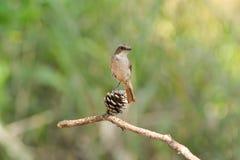 鸟,灰色Bushchat (岩苔ferreus) 库存图片