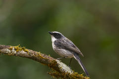 鸟,灰色Bushchat (岩苔ferreus) 库存照片