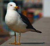 鸟,男性喜马拉雅Bluetail在城市 库存图片
