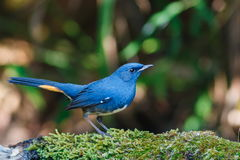 鸟,白鼓起的Redstart Hodgsonius phaenicuroides男性, -土井太阳朱赫,清迈,泰国鸟  库存照片