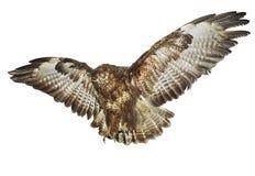 鸟,被涂的翼 免版税图库摄影