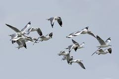 鸟,迁移鸟布朗带头的鸥 库存照片