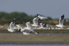 鸟,迁移鸟布朗带头的鸥 免版税库存照片