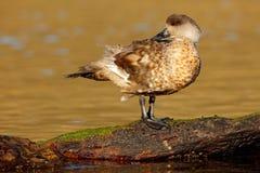 鸟,野生生物自然 在大海的鸭子 海带鹅, Chloephaga hybrida,是鸭子,鹅的成员 可以在t找到 库存图片