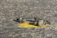 鸟, 3只鸠,在啄小米的雪的鸽子每晴天 图库摄影