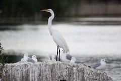 鸟:与海鸥的白色白鹭 免版税图库摄影