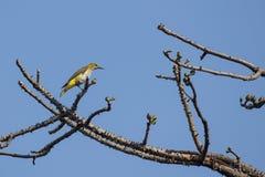 鸟:在树枝栖息的女性金黄奥廖拉诺的画象 库存照片