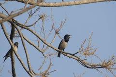 鸟:在树枝玫瑰色椋鸟科栖息的对 免版税库存照片