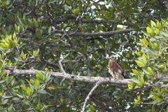 鸟:Brahminy风筝 库存照片
