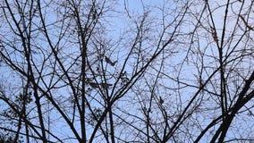 鸟从不生叶的树飞行 股票录像