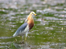 鸟(中国池塘苍鹭),泰国 图库摄影