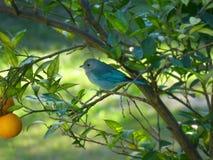 鸟说出名字的塞莱斯蒂诺塞莱斯蒂诺 库存图片