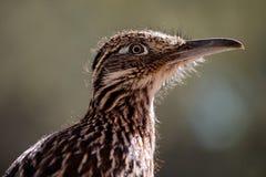 鸟更加极大的走鹃 免版税图库摄影