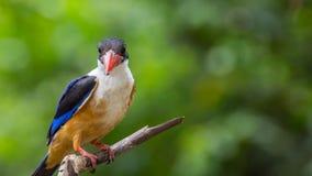 鸟(黑加盖的翠鸟)在树 免版税库存图片