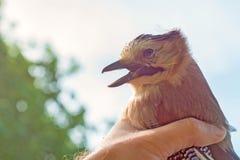 鸟类学家审查被捉住的鸟 库存图片