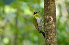 鸟(黑带头的啄木鸟),泰国 免版税图库摄影