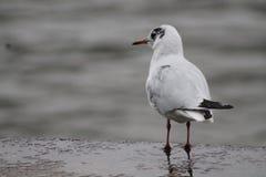 鸟经常非正式地叫系列鸥鸥科海鸥海鸥 免版税库存图片