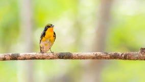 鸟(水仙捕蝇器)在树 免版税库存照片