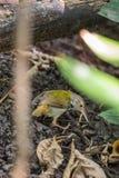鸟(黑暗收缩的长尾缝叶鸟)在狂放 免版税库存照片