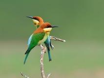 鸟(栗子带头的食蜂鸟),泰国 免版税图库摄影