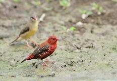 鸟(红色Avadavat),泰国 免版税库存照片