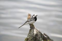 鸟水背景 免版税图库摄影