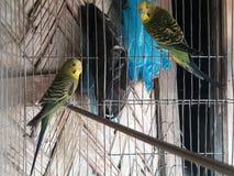 鸟绿色和黄色 免版税库存图片