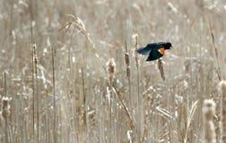 鸟黑色红翼 库存图片