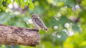 鸟(被察觉的猫头鹰之子,猫头鹰)在狂放的自然 库存照片