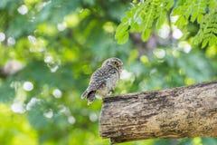 鸟(被察觉的猫头鹰之子,猫头鹰)在狂放的自然 免版税库存照片