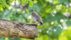 鸟(被察觉的猫头鹰之子,猫头鹰)在狂放的自然 库存图片
