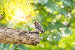 鸟(被察觉的猫头鹰之子,猫头鹰)在狂放的自然 免版税库存图片