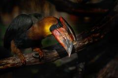 鸟画象与大额嘴,红褐色犀鸟, Buceros hydrocorax,菲律宾的 免版税库存照片