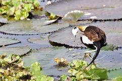 鸟(野鸡被盯梢的Jacana),泰国 免版税库存照片