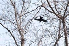 鸟-飞行的黑共同的掠夺 免版税库存照片
