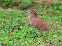 鸟(马来亚夜鹭属),泰国 免版税库存照片