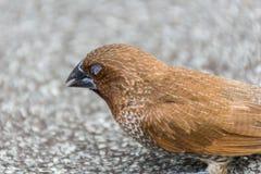 鸟(鳞状breasted Munia)在狂放的自然 库存图片